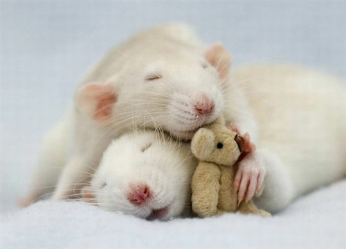 Ezek a patkányok nem kísérleti alanyok